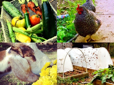 Sometimes homesteading Collage