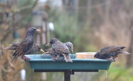 Starlings on the bird table