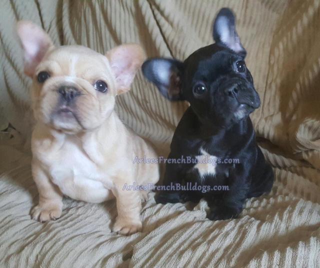 french bulldog colors - arlees french bulldogs