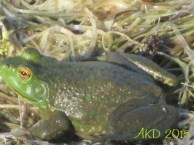 Green headed frog 4