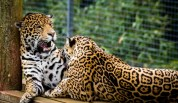 jaguars_[www.ArtFile.ru]