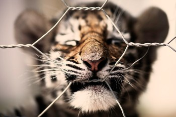 Tiger Cub 01