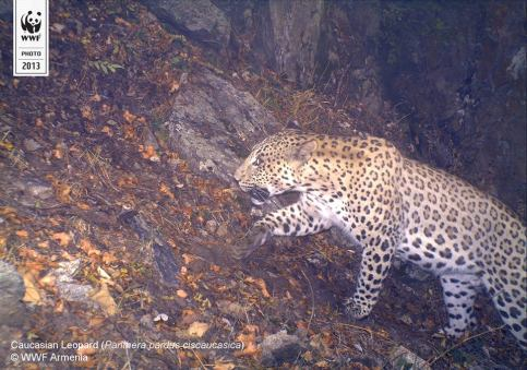 Copyright WWF-Armenia. Caucasian leopard. IMG 01