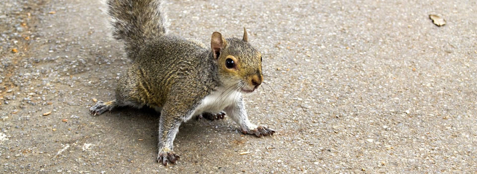Can Squirrels Damage Home Wiring