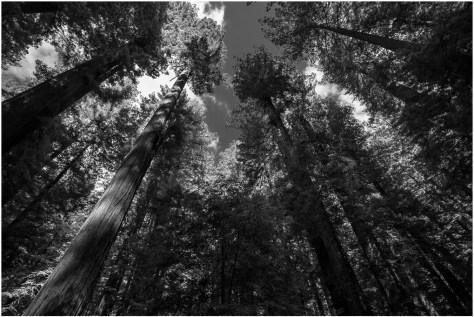 Redwoods - Bill Bible