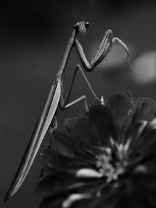 Mantis - John Chwalek