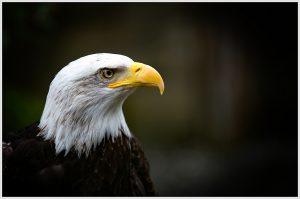 Bald Eagle - Tom Craig