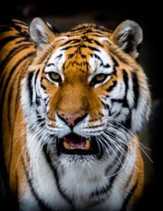Bill Heider - Tiger