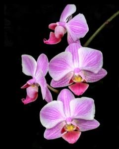 Jan Williams - Orchids