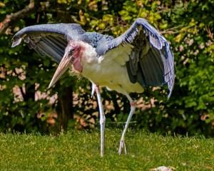 Bill Heider-Maribou Stork