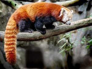 "Larry Arends - ""Red Panda"""