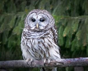 "Mike Garber-""Barred Owl"""