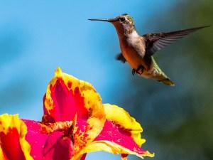 Reinhard-Schwind_Hummingbird