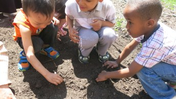 Preschool gets busy planting somemarigolds and sunflowers.