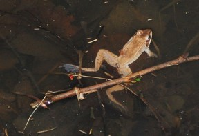 Photo of a frog in water