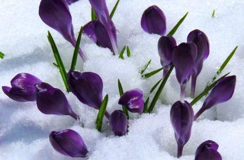 Harbinger of Spring