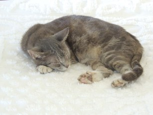 One of many descendants of Hemingway's famous polydactyl (six-toed) cats.