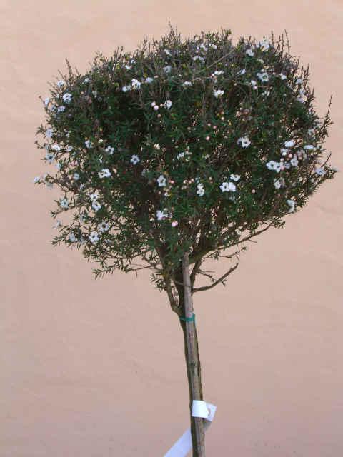 Topiaria piante lavorate forme geometriche pianta sagomata