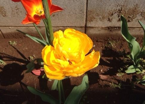 チユーリップ開花