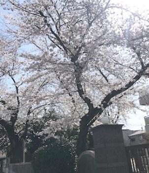 桜テクテクランニング2020