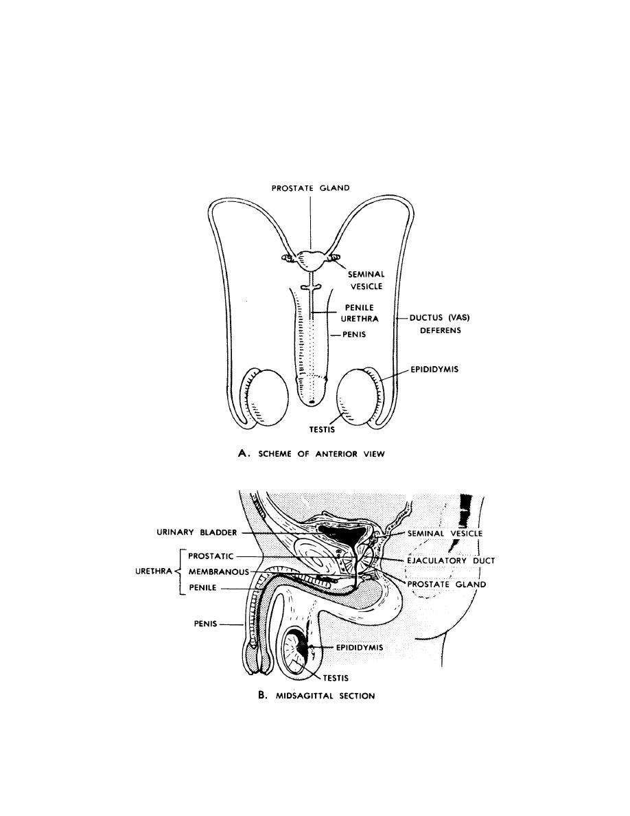 Figure 9-1. The human male reproductive (genital) system