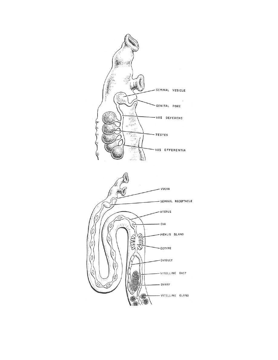 Figure 3-8. Reproductive system of schistosome