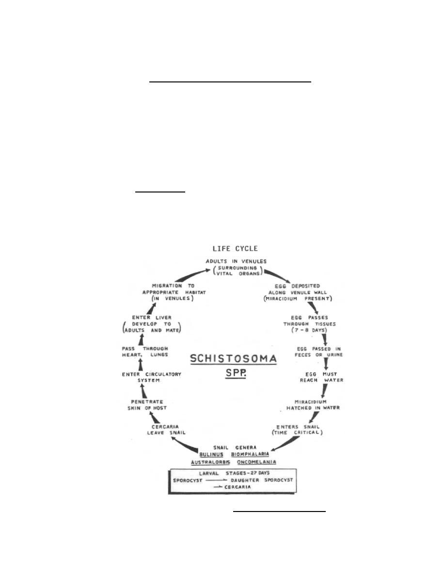 Figure 3-10. Life cycle of Schistosoma japonicum