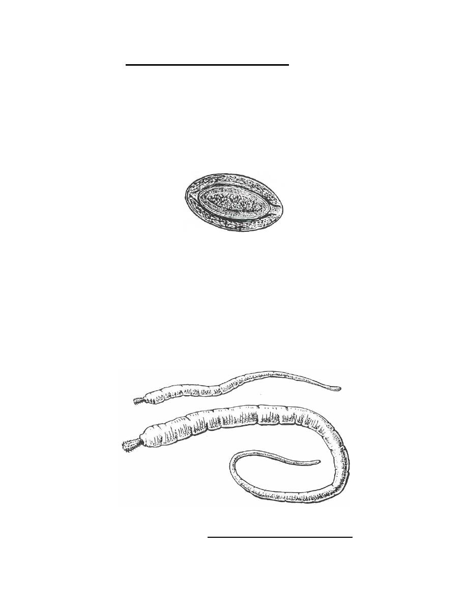 Figure 4-41. Stages of Macracanthorhynchus hirudinaceus