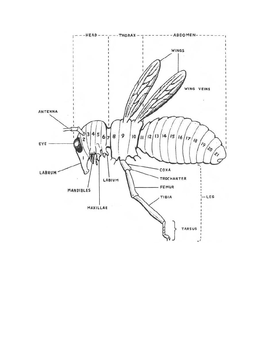 hight resolution of diagram of a primitive insect parasitology ii