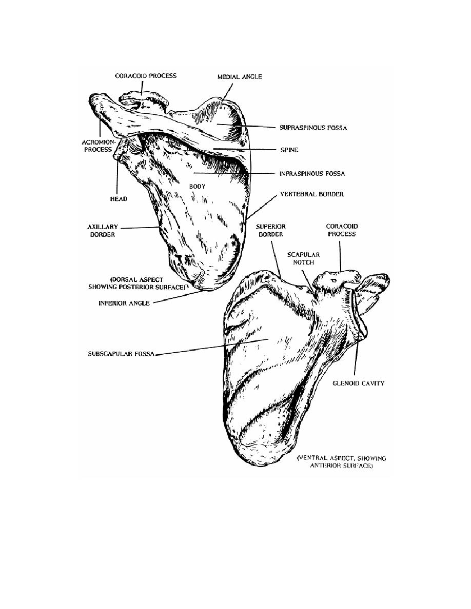 Figure 2-6. The left scapula (ventral and dorsal aspects