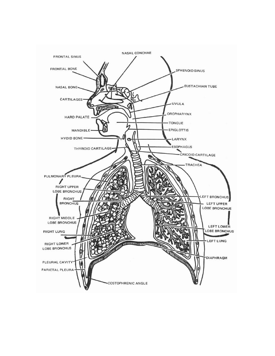 Free coloring pages of the respiratory system