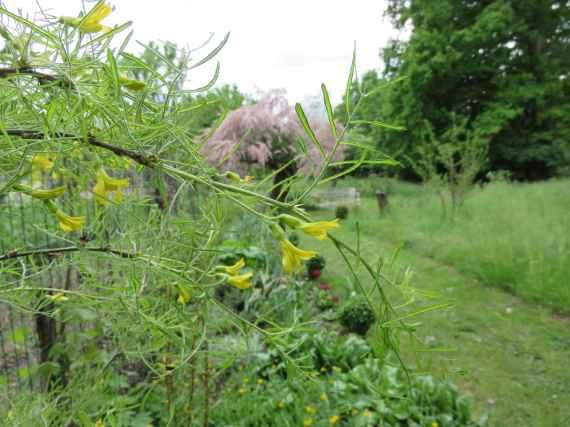 Caragana arborescens 'Lorbergii'