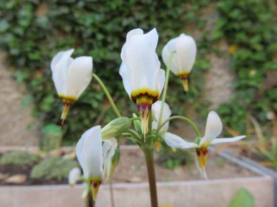 dodecatheon meadia 'Ali' 2