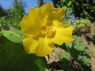 Stylophorum lasiocarpum 2