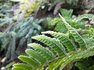 Dryopteris erythrosora frozen