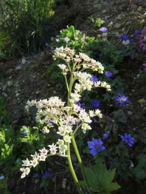 Muckdenia rossii