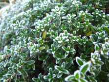 Thymus frozen