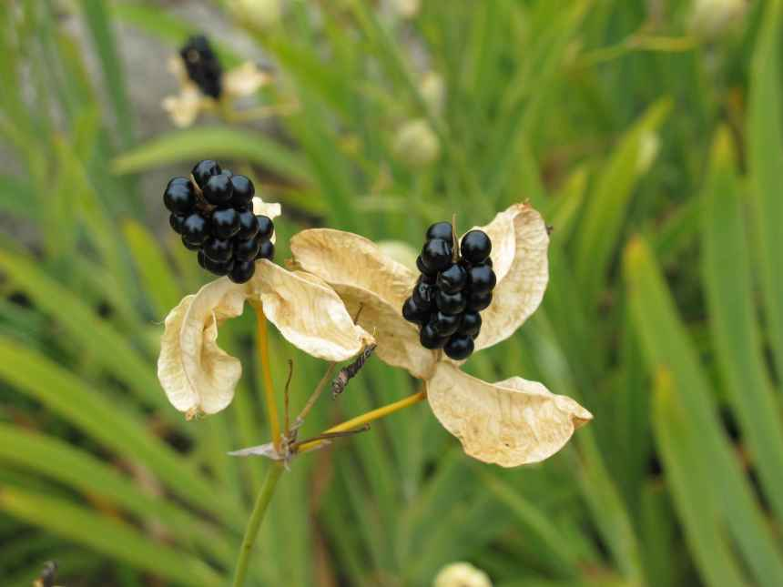 Belamcanda chinensis (4)