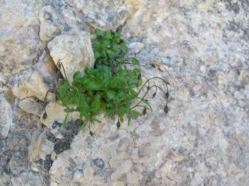 Campanula cochleariifolia (1)