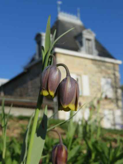 Fritillaria uva vulpis and home