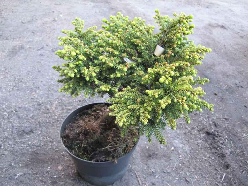 Picea abies 'Little Gem' (1)