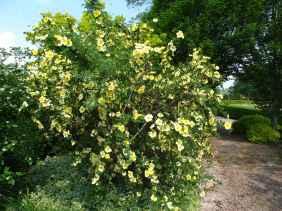 Rosa xanthina 'Canary Bird' (2)