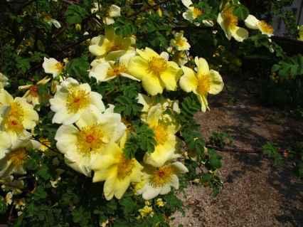 Rosa xanthina 'Canary Bird' (3)