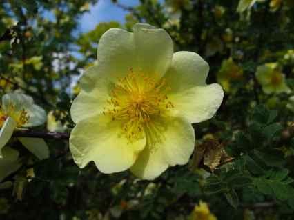 Rosa xanthina 'Canary Bird' (4)