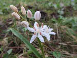 Scilla bifolia blanche