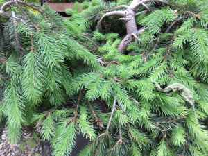 Picea abies 'Formanek' 1