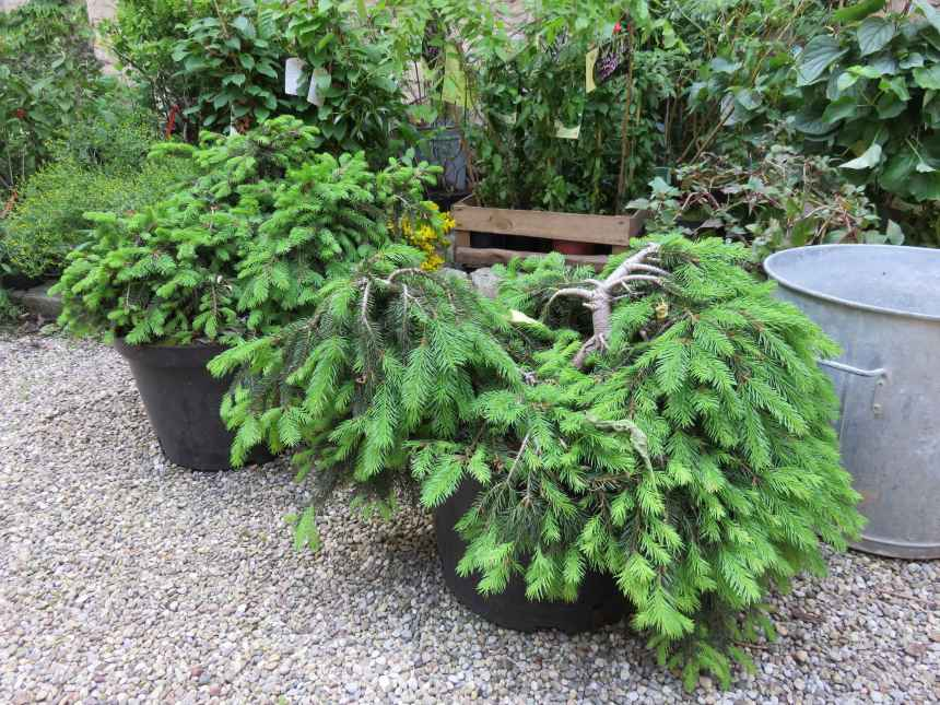 Picea abies 'Formanek' 2