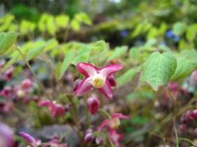 Epimedium youngianum 'Roseum' (2)