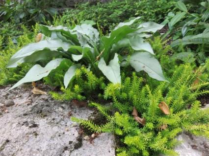 Erica carnea f. aureifolia 'Foxhollow'