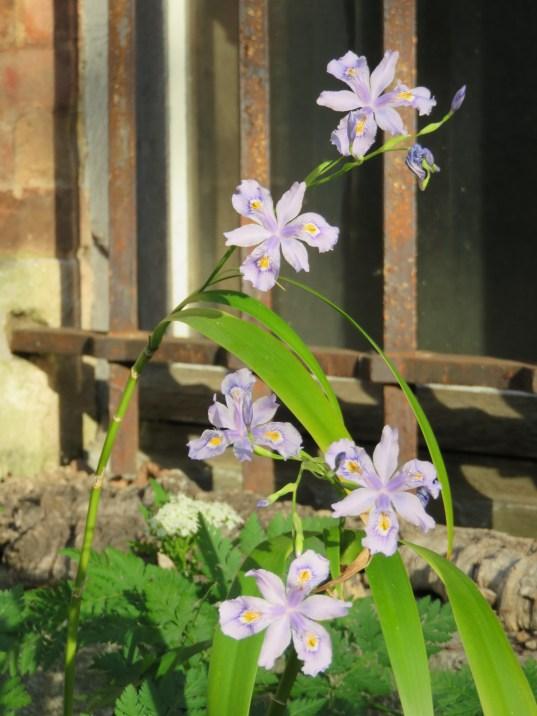 Iris confusa myrrhis odorata